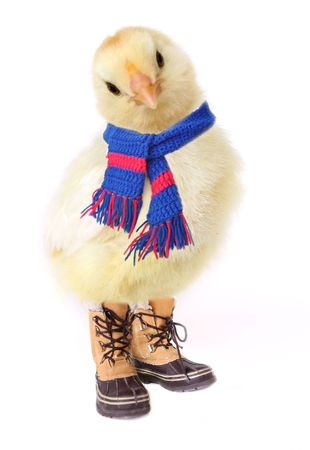 Cold Chicken - Manipulated image of chicken in scarf & boots Stock Photo
