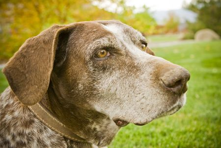 A sweet old german shorthair pointer hunting dog sitting on the grass in the fall. Stylized with a vignette around the edges and warmed tones. Shallow depth of field with focus on the eyes. Stock Photo