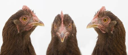 Three chicken faces on white background. One looks to the left, one to the center, and one to the right.
