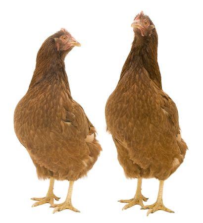 Twee kippen geïsoleerd op een witte achtergrond.