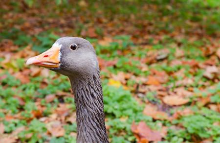 anseriformes: Greyleg Goose