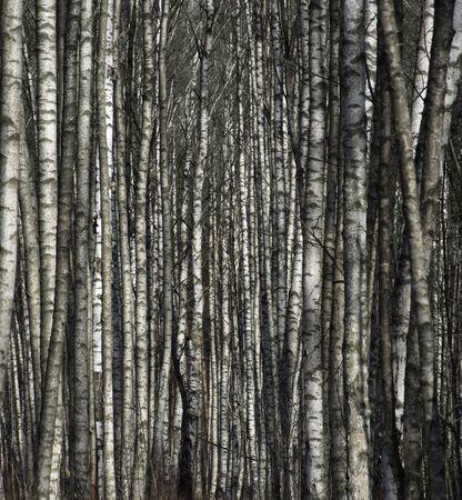 arboleda: nieve en el bosque de abedules Foto de archivo