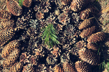 fruition: cones of coniferous plants, natural background Stock Photo
