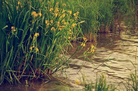 irises: yellow irises marsh flowers