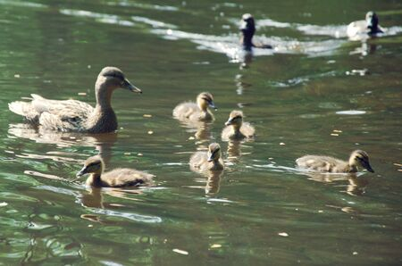 medium group of objects: wild duck family in the water Stock Photo