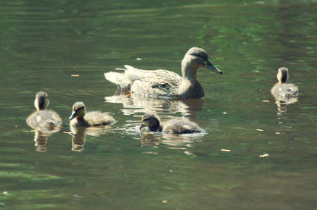 dabbling duck: wild duck family in the water Stock Photo