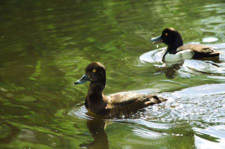 dabbling duck: wild tufted duck family in pond