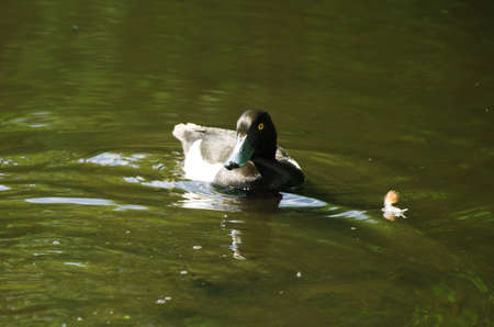 tufted: Tufted Duck male, wild duck in pond Stock Photo