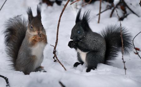 furry animals: negro y rojo ardilla, pequeños animales peludos en la nieve