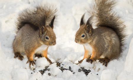 furry animals: Dos ardillas en la nieve, pequeños animales peludos
