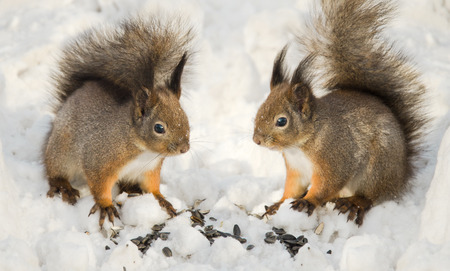 furry animals: Two squirrels in the snow, small furry animals