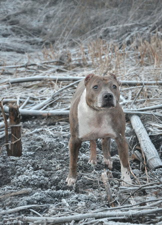 fighting dog: Stafford, guard dog that matches color with the terrain