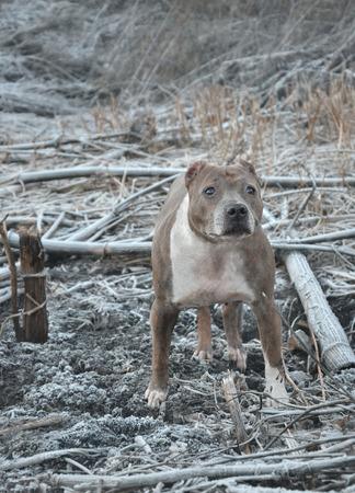 kampfhund: Stafford, Wachhund, die Farbe mit dem Gel�ndespiele Lizenzfreie Bilder