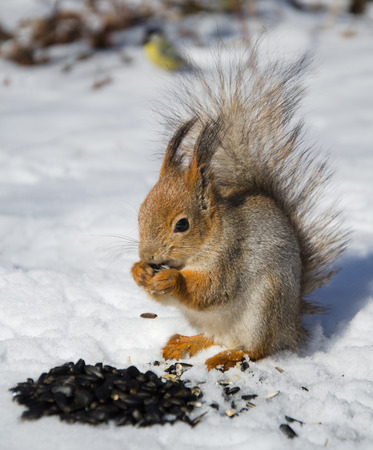 furry: Squirrel in the snow, winter, small furry animals Stock Photo