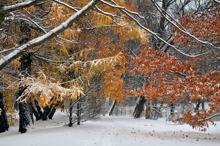 first day: first snow on leaves in autumn day Stock Photo