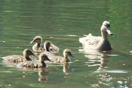 brood: mother duck with a brood, wild duck in pond