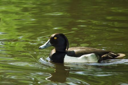 tufted: Tufted duck male, wild duck in pond