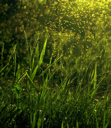 green forest: Sunset among grasses and swarming gnats, fireflies at sunset Stock Photo