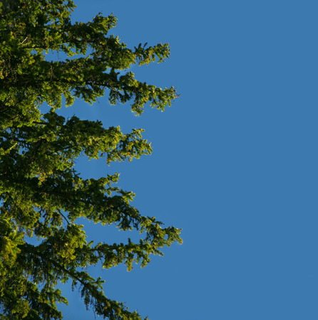 firtree: fir-tree branches in background of clear sky