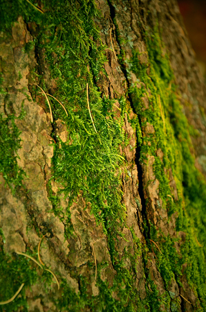 mosses: forest mosses on old tree