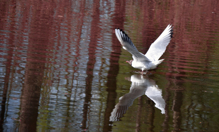 animals feeding: white seagull over water