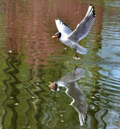 animals feeding: white seagull over water, grabbing the feed-the-fly