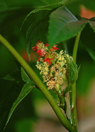 bean plant: Flower of Ricinus. A Castor bean plant