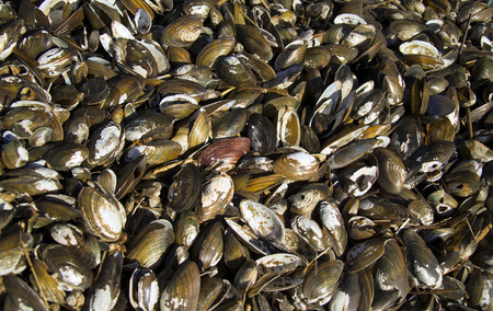 oyster plant: large pile of seashells - background. deposits of shells that brings the sea.