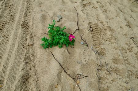 wild rose: wild rose on sand on the beach Stock Photo