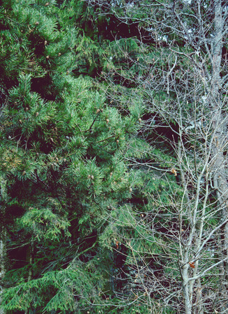 copse: Branch of pine, trees in the woods