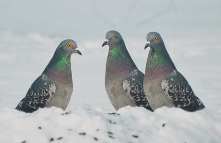 homing: Three Pigeons in the snow Stock Photo