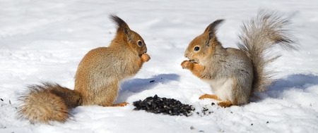 red squirrel: Two Red Squirrel