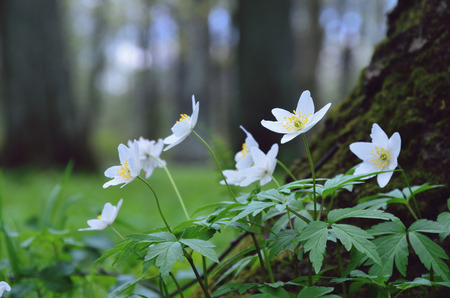 selective focus: Forest anemone