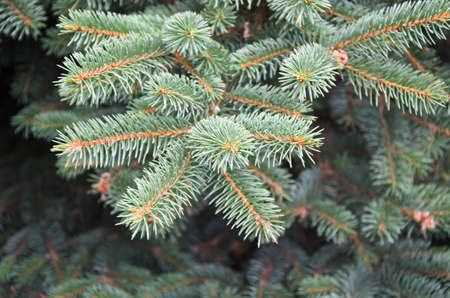 homogeneous: fir branches - background, lush branches of conifers