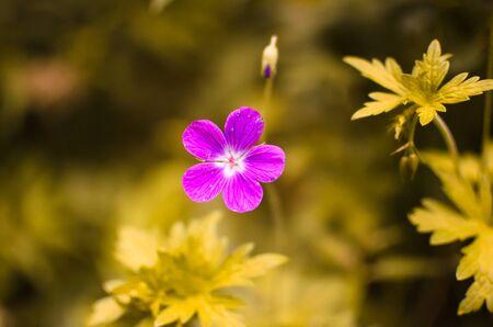 geranium color: toned image of flower, summer vegetation in non-standard colors Stock Photo