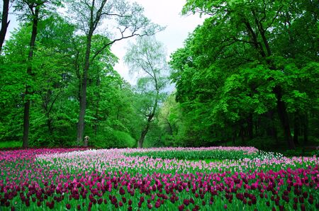 large field of tulips in the old park Stock Photo