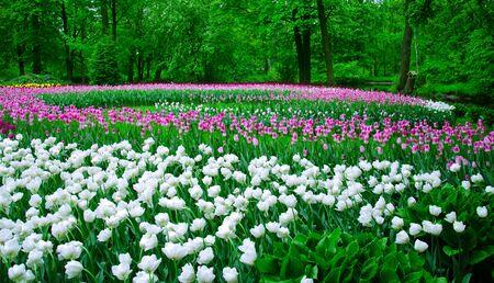 jardines con flores: gran campo de tulipanes en el antiguo parque