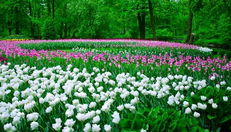 field flower: large field of tulips in the old park Stock Photo