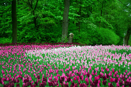 champ de fleurs: large field of tulips in the old park Banque d'images