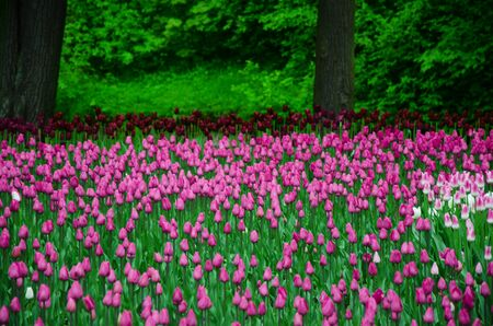 garden flowers: large field of tulips in the old park Stock Photo