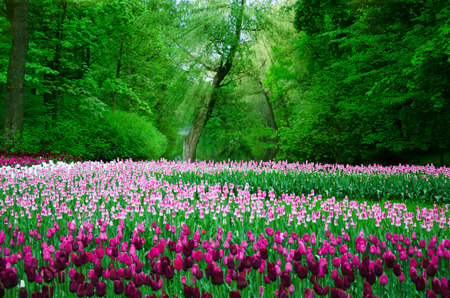 large field of tulips in the old park 写真素材