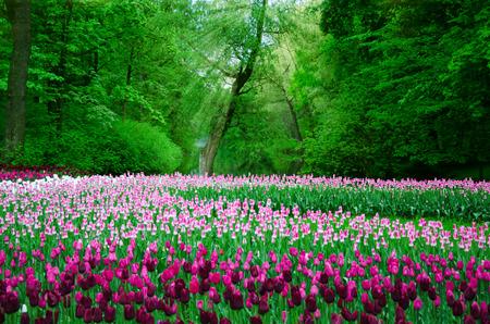primavera: gran campo de tulipanes en el antiguo parque