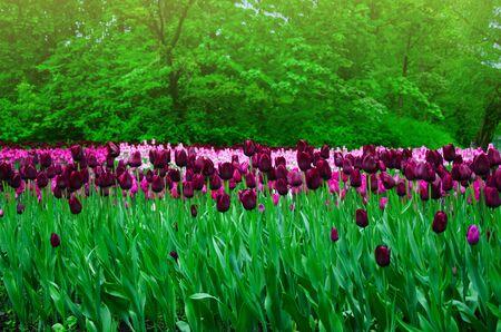 flores moradas: gran campo de tulipanes en el antiguo parque