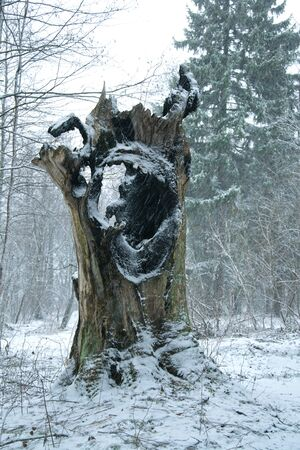 hollow: old hollow tree in woods