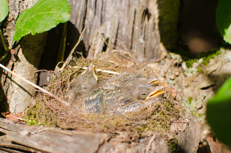 Chicks of wild birds in the nest attached to the trunk of an old tree in the garden