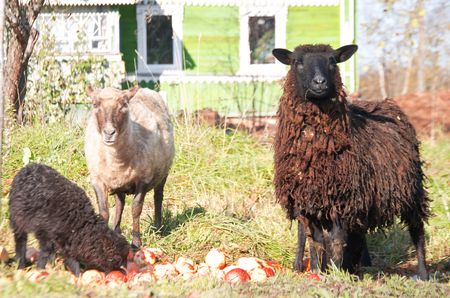 family of sheep graze near the village house and they eat ripe apples