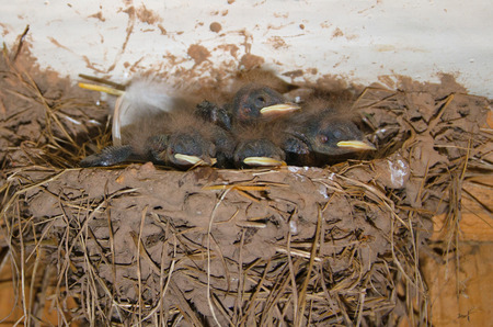 grey baby swallows sitting in the nest
