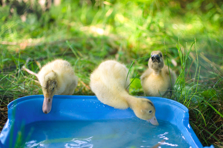 three little duckling on a walk drink clean water from the trough Stock Photo