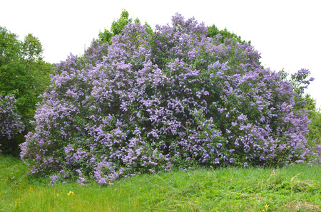 huge Bush of blooming lilac on a green meadow