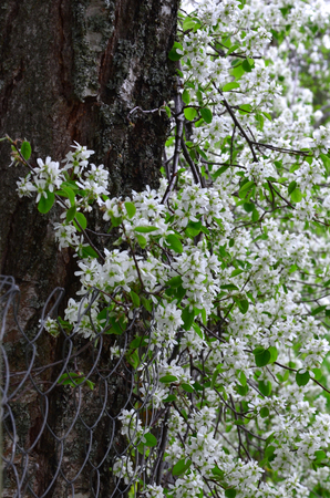 flowering branches of the Irga in the spring garden 写真素材
